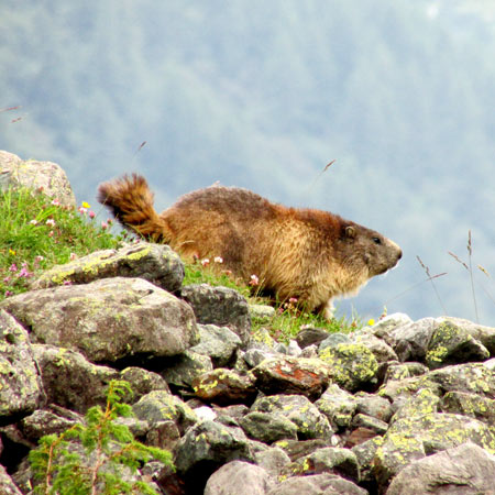 French Alps wildlife - what is a marmot?